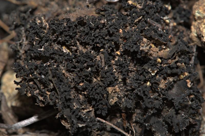 Leptochidium albociliatum