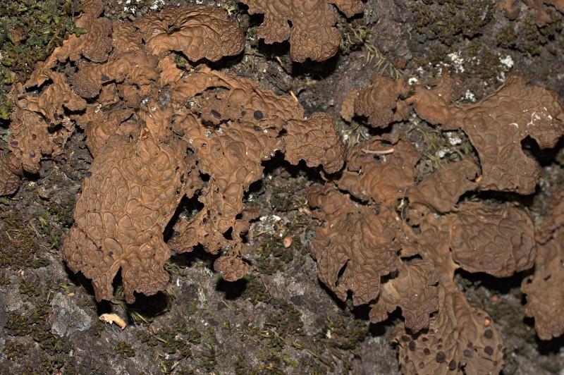 Pseudocyphellaria anthraspis