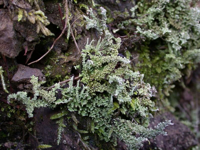 Cladonia_squamosa_Roy's_Redwoods_2.06_001