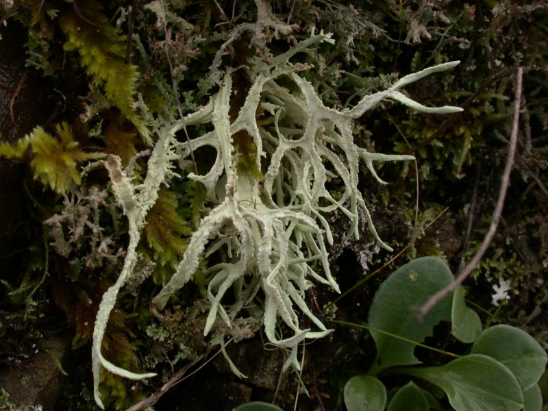 Evernia_prunastri_on_soil_bank_020