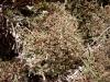 Cladonia_species_042