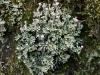 Cladonia_verticillata_004