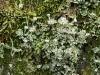 Cladonia_verticillata_005