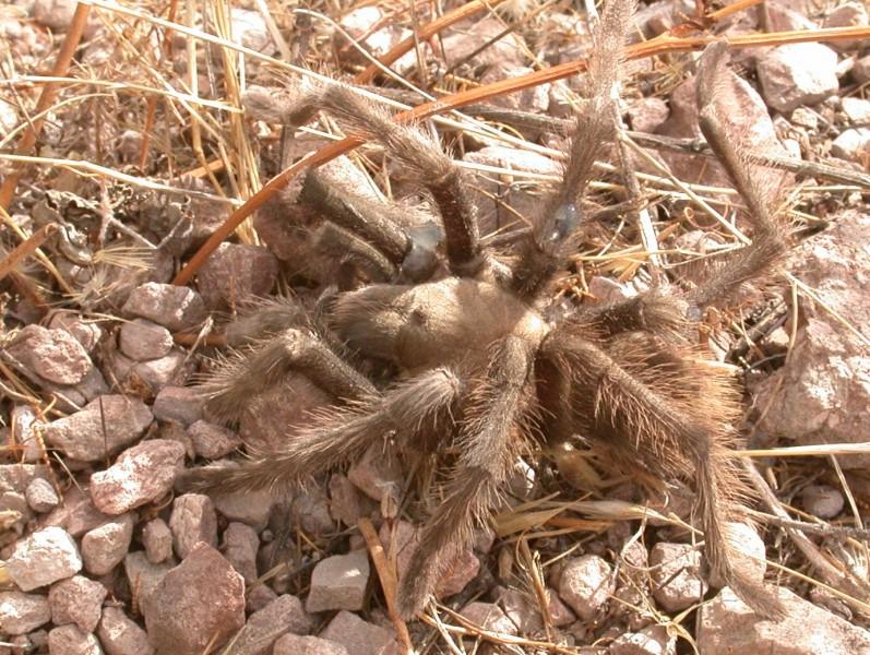 Tarantula_injured_Pinnacles_041