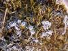 Cladonia_086