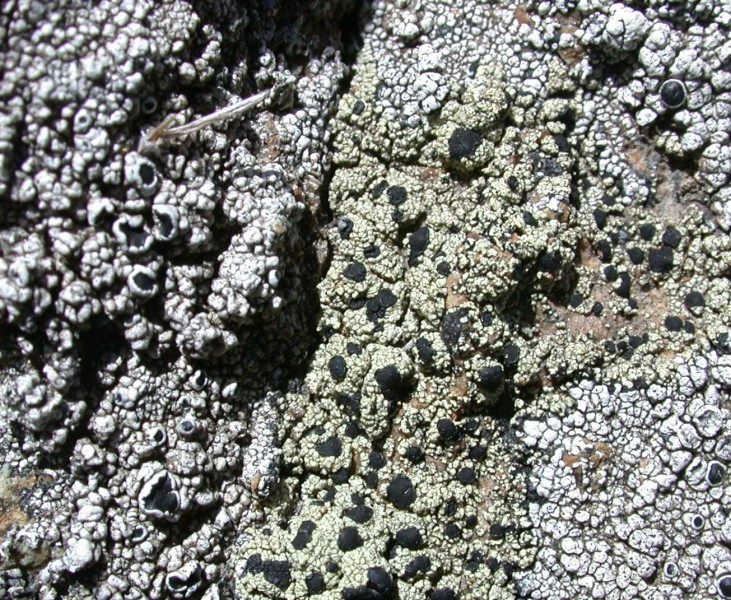 Lecidella asema (green granular thallus with black apothecia)