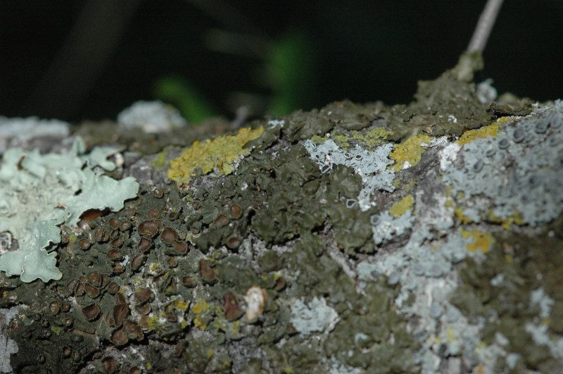 Melanelia glabra