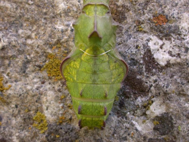 Pipe vine swallowtail chrysalis