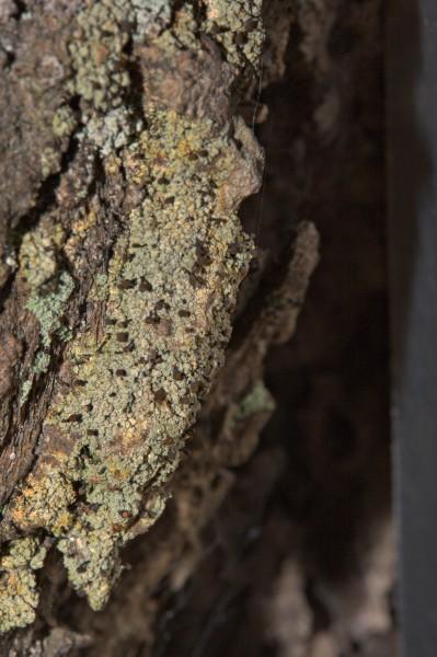 Chaenotheca sp.