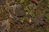 Pseudocyphellaria spp.