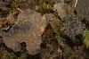 Pseudocyphellaria anomala
