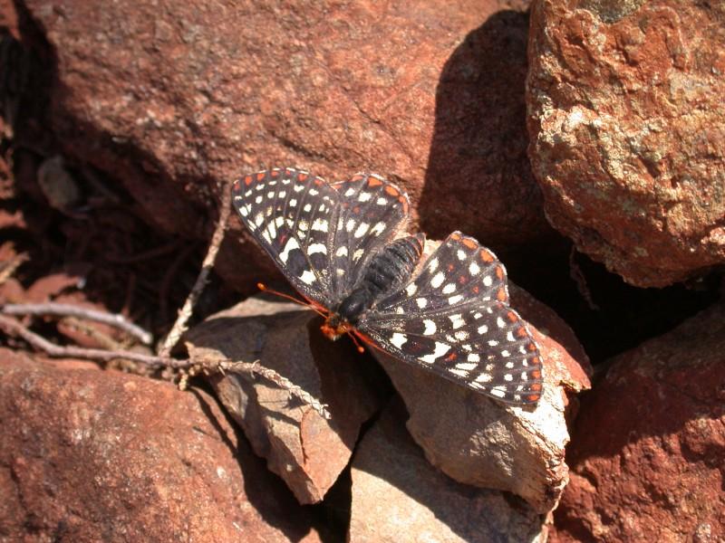 Checkerspot_butterfly_dscn3862