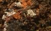 Placidiopsis_cinerascens_DSCN3946-Changed