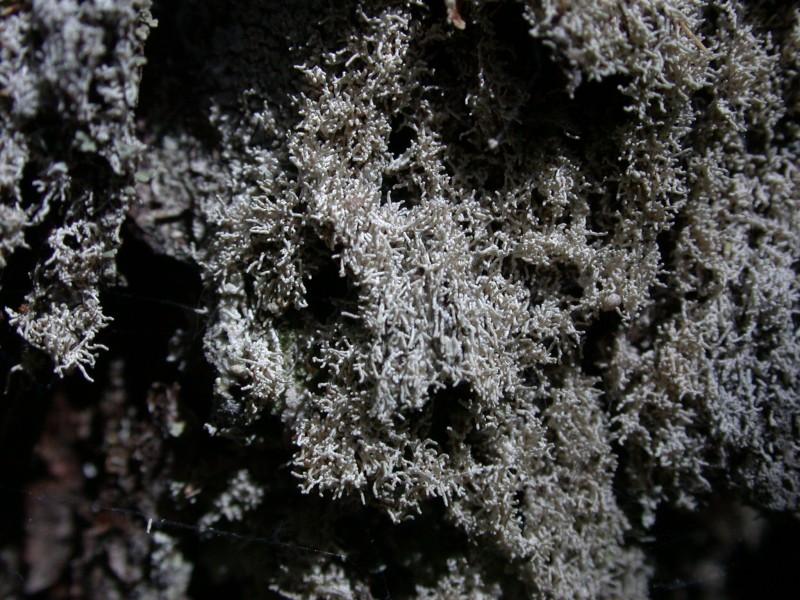 Loxosporopsis corallifera