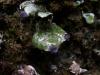 Peltigera venosa