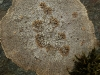 Placopsis lambii