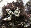 Polychidium muscicola