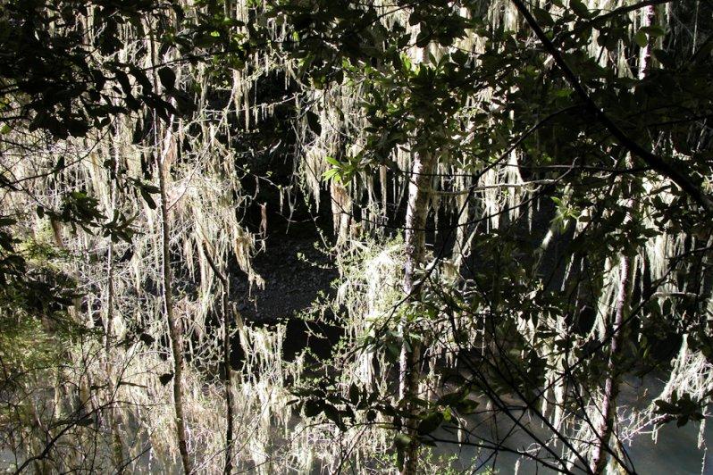 Usnea longissima, Humboldt Co.
